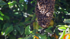 A Swarm of Endangered Bees in An Organic Orange Tree 4K Stock Video Footage Stock Footage