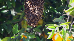 A Swarm of Endangered Honey Bees Organic Orange Tree Stock Video Footage - stock footage