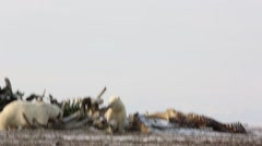Polar bears scavenging whale carcass Stock Footage