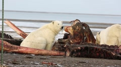 Polar bear with whale carcass Stock Footage