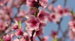Beautiful cherry blossom Stock Footage