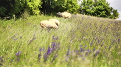 Sheep grazing - stock footage