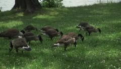 Stock Video Footage of Canadian Geese Eating on the grass