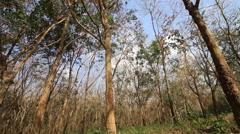 Rubber tree on summer season Stock Footage
