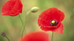 Red poppy flower - stock footage