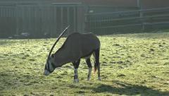 Oryx antelope Stock Footage