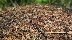 Ants crawling on anthill in the woods Stock Footage