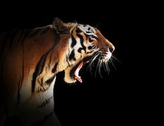 Wild tiger roaring. Isolated on black, easy for cut out. Kuvituskuvat