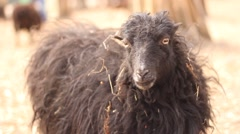 Black sheep in zoo Stock Footage