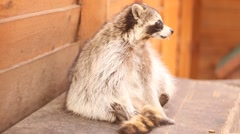 raccoon playing with tail, aviary of the zoo - stock footage