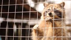 Raccoon in aviary - stock footage