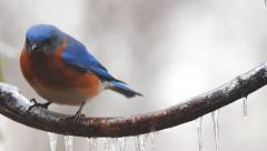 Eastern Bluebird Male Stock Footage