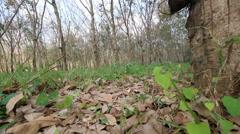 Rubber tree on summer season - stock footage