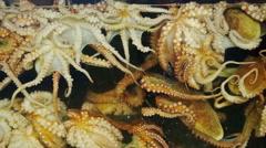 Octopus moving in aquarium glass Stock Footage