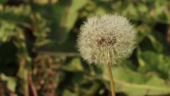 Dandelion closeup Stock Footage