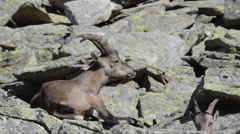 Young ibex (Capra ibex) is ruminating in the Gran Paradiso National Park Stock Footage