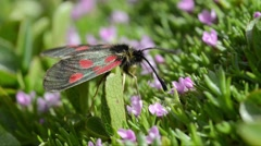 Five-spot burnet on Silene acaulis in Gran Paradiso National Park Stock Footage
