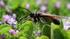 Six-spot burnet, Zygaena filipendulae, moth, Zygaenidae, Stock Footage