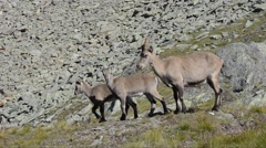 Ibex  female and  youngs on  Alpine praire (Capra ibex) Stock Footage