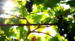 Ripe wine grapes and sun in the morning. HD. 1920x1080 Stock Footage