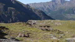 Ibex in the landscape (Capra ibex) Gran Paradiso National Park Stock Footage