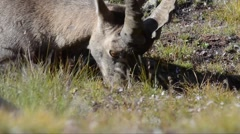 Ibex (Capra ibex) is digging with his paw and eats grass Stock Footage
