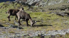 Ibex (Capra ibex) - male of three years old is digging with his paw Stock Footage