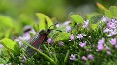 Five-spot burnet, Zygaena trifolii, insect, Silene acaulis, Stock Footage