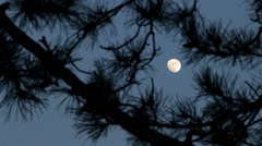 Stock Video Footage of Mysterious Full Moon In Raise, Moonlight Through Pines Tree Branches,