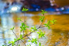 Elm tree branch over water in spring Stock Photos