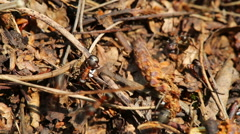 Ants crawling on anthill in the woods - macro shot Stock Footage