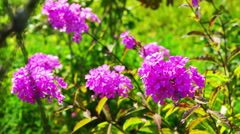 Pink Phlox Flowers Bush With Green Grass at Background Stock Footage