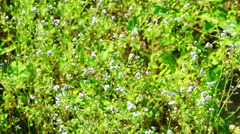 Beautiful blue forget-me-not flowers at field - stock footage