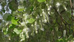 Close up of a cottonwood tree branch with flying cottony seeds Stock Footage