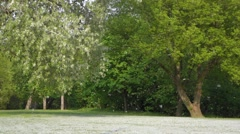 Summer snow of blooming cottonwood tree in little breeze Stock Footage