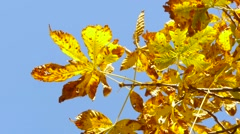 autumn, yellow leaves, the sky, the warmth, the leaves on the branches, tree - stock footage