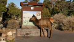 Grand Canyon Elk drinking from Water Fountain Stock Footage