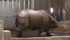 Indian rhinoceros (Rhinoceros unicornis) Stock Footage