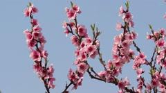 Sweet blossom Stock Footage