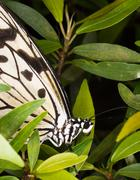 Wood nymph butterfly - Idea leuconoe Stock Photos
