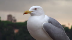 Yellow-legged gull in Rome on the Palatine Hill - stock footage