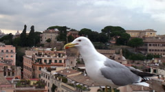 Stock Video Footage of Feeding Yellow-legged gull in Rome on the Palatine Hill.