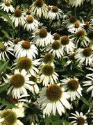 Flowers of the Echinacea or coneflower. Stock Photos