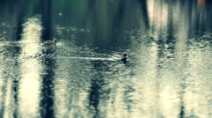 Stock Video Footage of ducks in lake slow motion