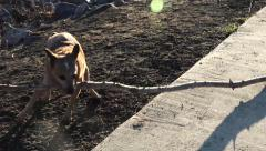 Dog Excited about Giant Stick Stock Footage