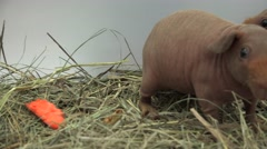 Hairless guinea pig. 4K. Stock Footage