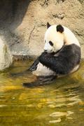 Giant panda sitting in water Stock Photos
