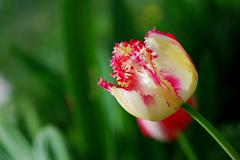 torn fresh colorful tulip in springtime with green background - stock photo