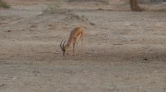 Dorcas gazelle 4K Stock Footage