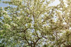 Apple tree covered with white flowers Stock Photos